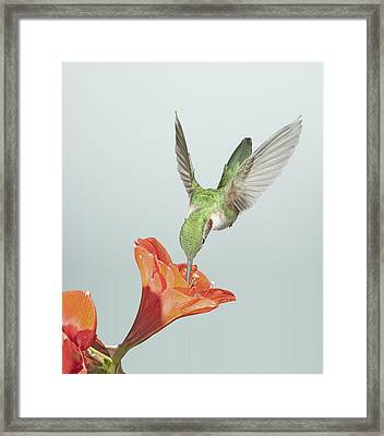 Amyrillis And Broadtailed Hummingbird Framed Print by Gregory Scott