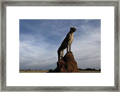 An African Cheetah Guards Its Territory Framed Print by Chris Johns