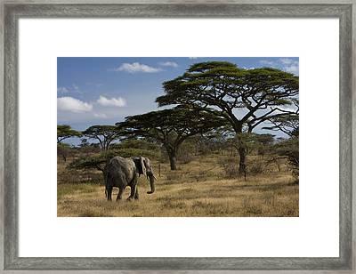 An African Elephant Walks Among Acacia Framed Print by Ralph Lee Hopkins