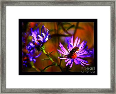 An Afternoon Bee In The Asters Framed Print by Susanne Still
