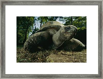 An Aldabra Tortoise At The Audubon Zoo Framed Print