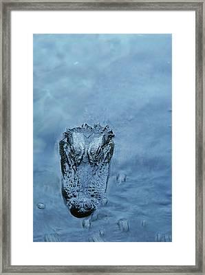 An American Alligator Alligator Framed Print by Jason Edwards