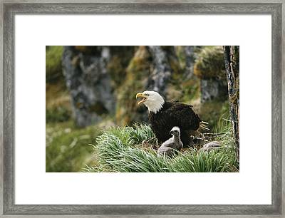 An American Bald Eagle And Young Framed Print by Klaus Nigge