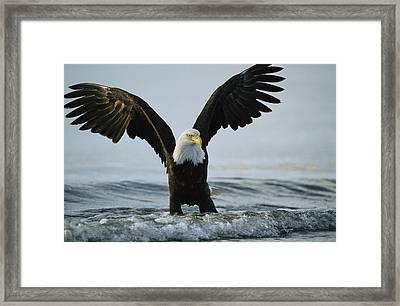 An American Bald Eagle Grasps Its Prey Framed Print by Klaus Nigge