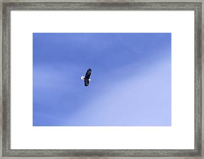 An American Bald Eagle In Flight Framed Print by Heather Perry