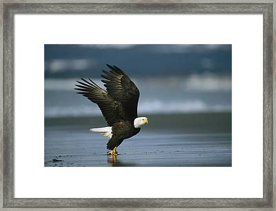 An American Bald Eagle Takes Framed Print by Klaus Nigge