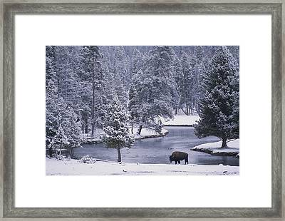 An American Bison Alongside A River Framed Print by Michael Melford