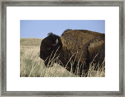 An American Bison Bison Bison Still Framed Print by James P. Blair