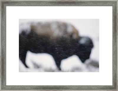 An American Bison Braves A Blizzard Framed Print by Annie Griffiths