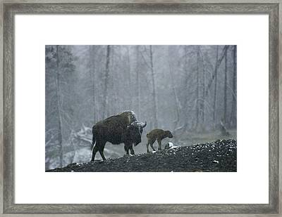 An American Bison Cow With Her Newborn Framed Print by Michael S. Quinton