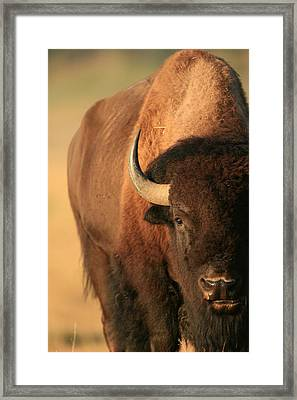 An American Bison In The Early Morning Framed Print