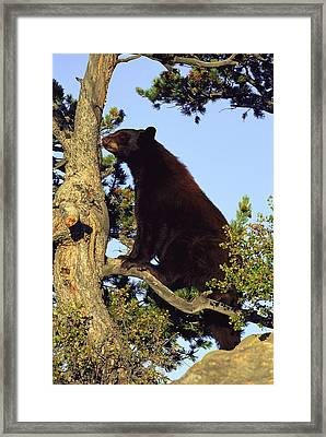 An American Black Bear Stands In A Tree Framed Print