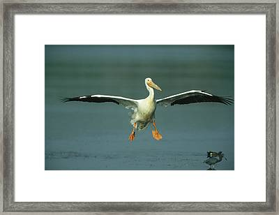 An American White Pelican In Flight Framed Print by Klaus Nigge