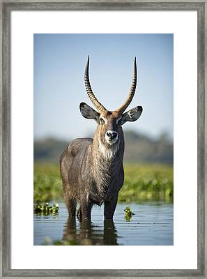 An Antelope Standing In Shallow Water Framed Print by David DuChemin
