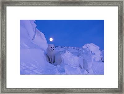 An Arctic Fox Under A Full Moon Framed Print