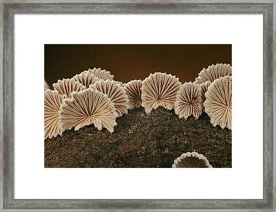 An Array Of Common Split Gill Mushrooms Framed Print by Darlyne A. Murawski