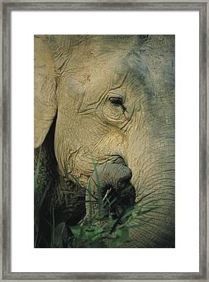 An Asian Elephant Brings A Trunkful Framed Print by Tim Laman