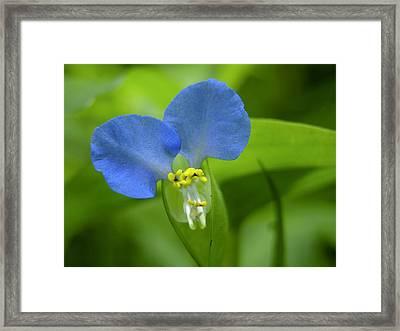 An Asiatic Dayflower, A Wildflower Framed Print by Amy White & Al Petteway