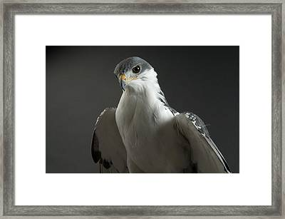 An Auger Buzard Buteo Auger At Denver Framed Print by Joel Sartore
