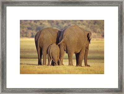 An Endangered Asian Elephant Calf Framed Print by Jason Edwards