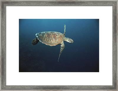 An Endangered Green Sea Turtle Swimming Framed Print