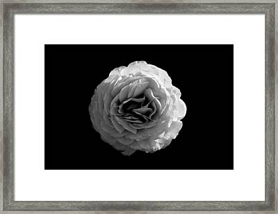 An English Rose Framed Print by Sumit Mehndiratta