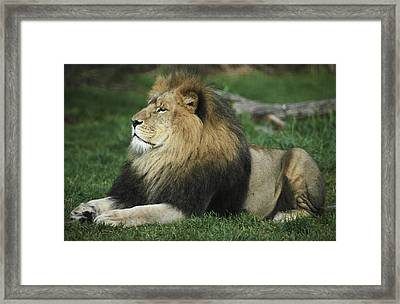An Immense And Powerful African Lion Framed Print by Jason Edwards