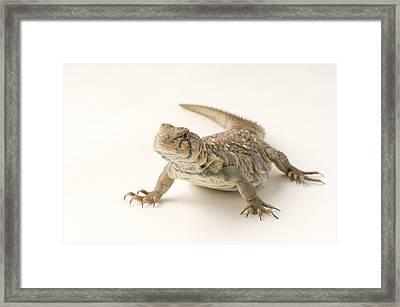 An Ocellated Uromastyx Lizard Uromastyx Framed Print by Joel Sartore
