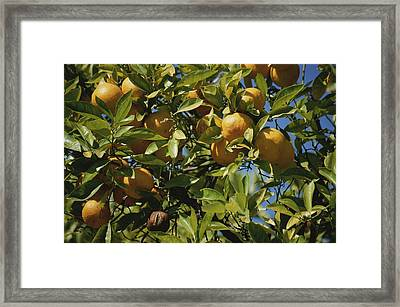 An Orange Tree Bears Fruit Along Sunset Framed Print by Stephen St. John