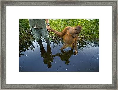 An Orangutan Orphan Clings To The Hand Framed Print