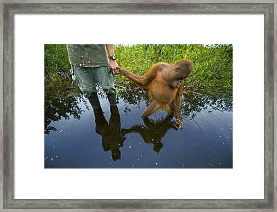 An Orangutan Orphan Clings To The Hand Framed Print by Mattias Klum
