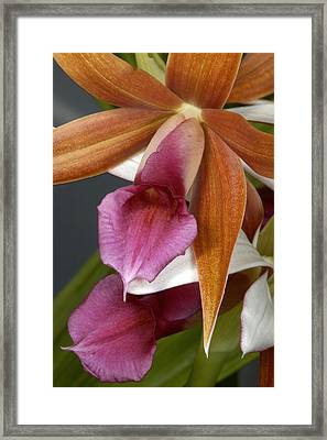 An Orchid, Probably A Cattleya Hybrid Framed Print by Stephen Sharnoff