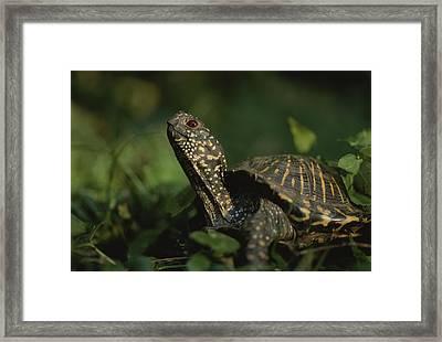 An Ornate Box Turtle Surveys Framed Print by Joel Sartore