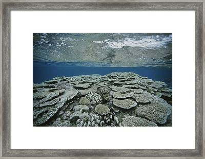 An Underwater View Of Coral On Rongelap Framed Print by Bill Curtsinger