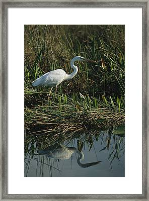 An Unusual White Great Blue Heron Framed Print by Raymond Gehman
