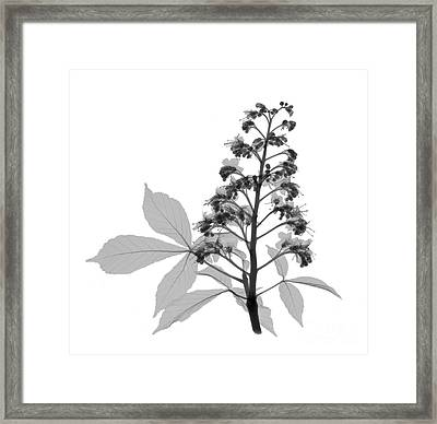 An X-ray Of A Chestnut Tree Flower Framed Print by Ted Kinsman