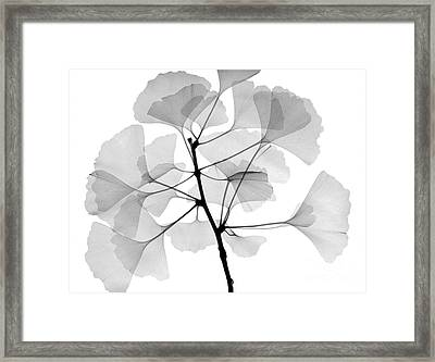 An X-ray Of Ginko Leaves Framed Print by Ted Kinsman