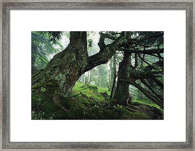 Ancient Fir Trees In Forest Framed Print by Norbert Rosing