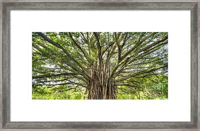 Ancient Maui Banyan Tree 2 Framed Print