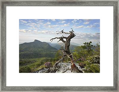 Ancient Pine On Hawksbill Mountain Framed Print by Keith Clontz