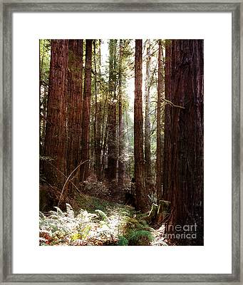 Ancient Redwoods And Ferns Framed Print by Laura Iverson