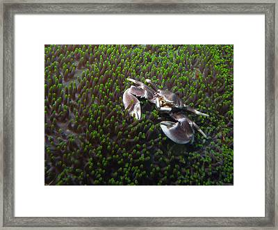 Anemone Crab Framed Print by Ted Papoulas