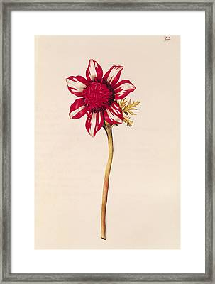 Anemone Framed Print by Nicolas Robert