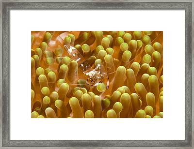 Anemone Shrimp In Its Host Anemone Framed Print