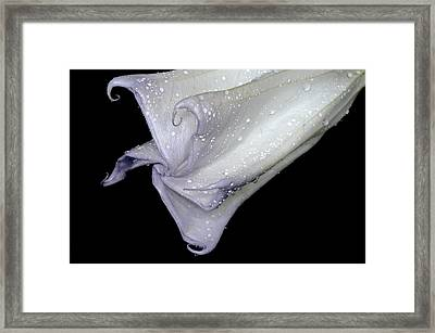 Angel Trumpet After The Rain Framed Print