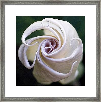 Angel Trumpet Blooms Framed Print