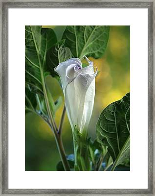 Angel's Trumpet Bud Framed Print