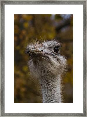 Angry Bird Framed Print by Trish Tritz