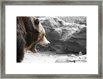Angry Grizz Framed Print by Karol Livote
