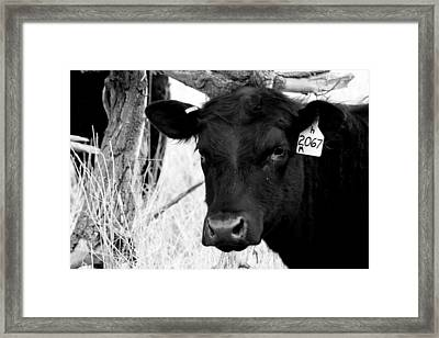 Angus Cow In Black And White Framed Print by Tam Graff